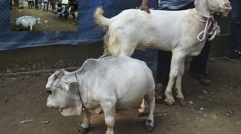 इस रानी गाय को देखने के लिए हजारों की संख्या में लोग पहुंच रहे हैं।